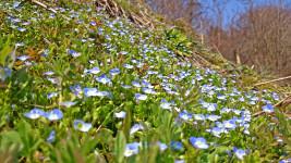 オオイヌノフグリが咲き乱れる土手