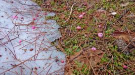 寒さで落ちた梅の蕾