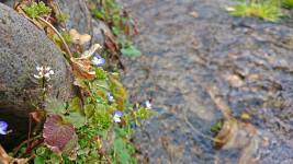 春めくわさび田の用水路1