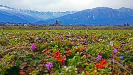 早春の麦畑の畔から常念岳を