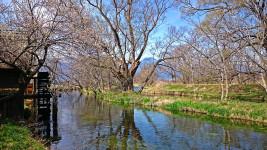 大王わさび農場の水車小屋の前の梅の花と有明山