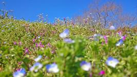 ホトケノザ、オオイヌノフグリ、ナズナの花咲く春の土手1