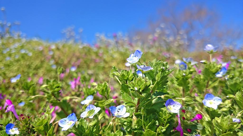 ホトケノザ、オオイヌノフグリ、ナズナの花咲く春の土手2
