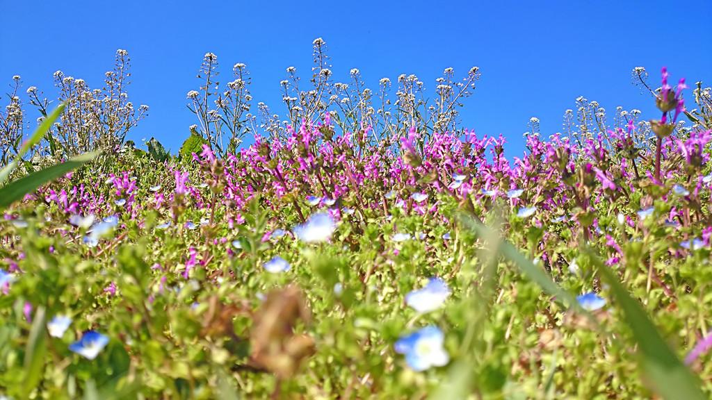 ホトケノザ、オオイヌノフグリ、ナズナの花咲く春の土手3