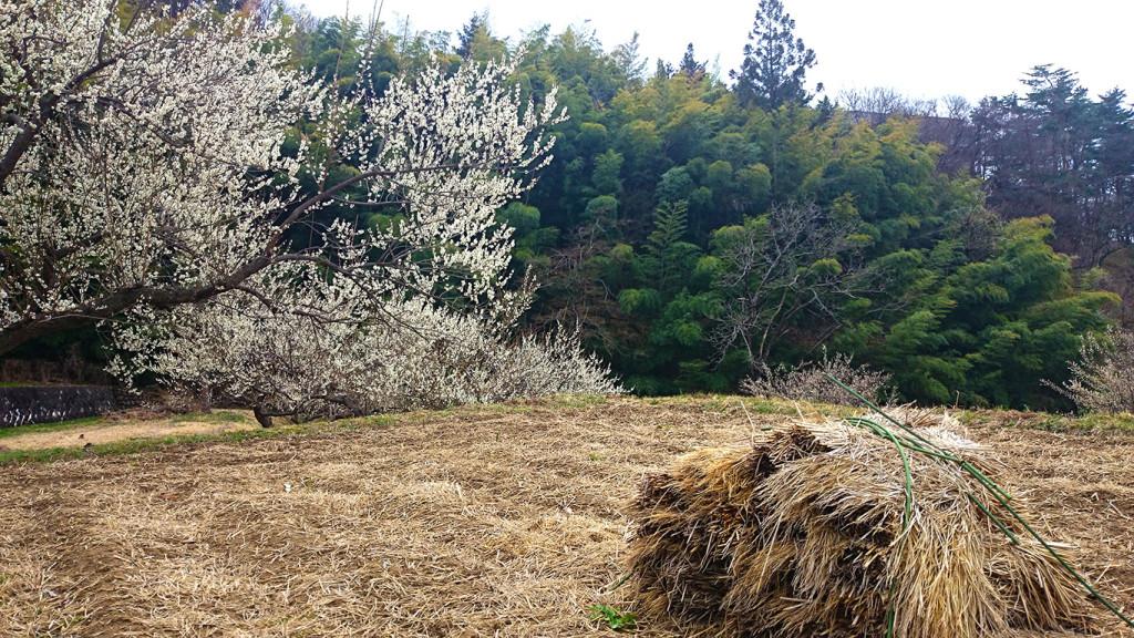 玄向寺にて梅の花と竹林を