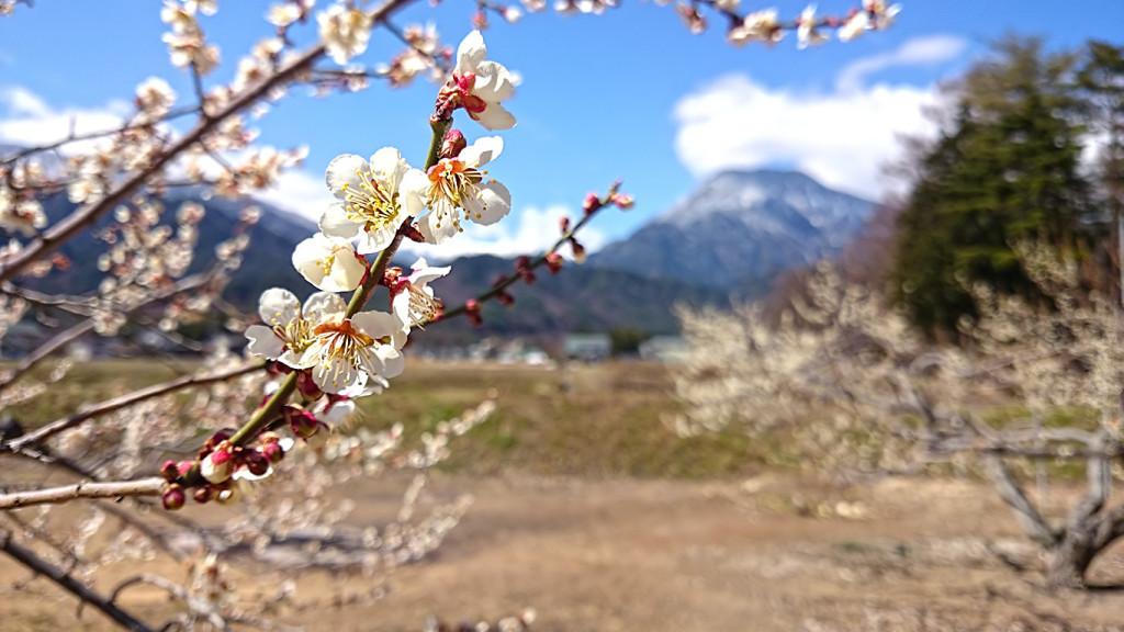 白梅と雪化粧した有明山