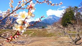 白梅と有明山