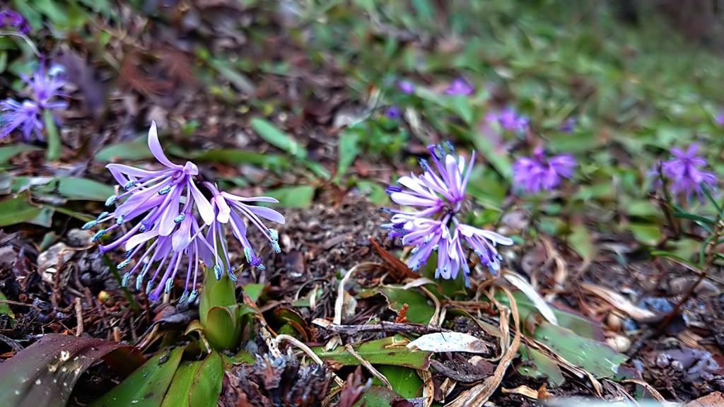 松尾寺の咲き始めていたショウジョウバカマ