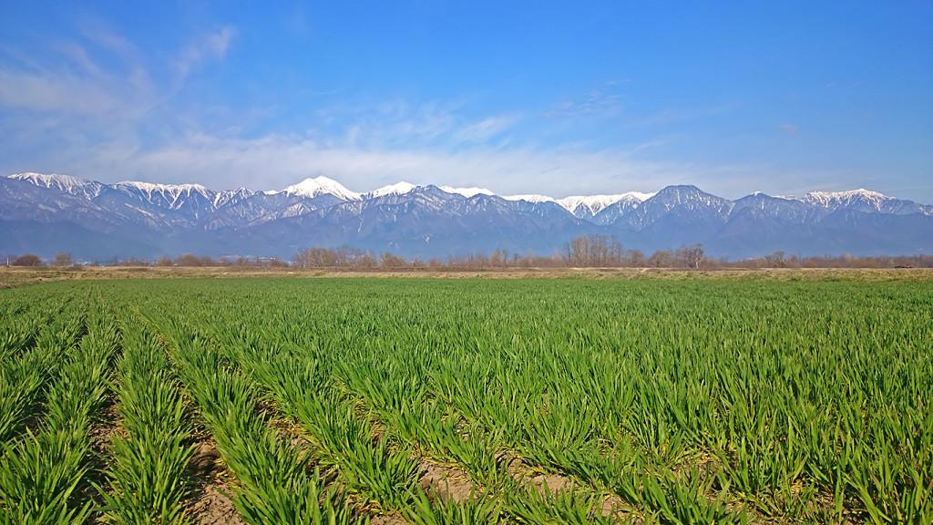 麦畑から見る常念岳と有明山