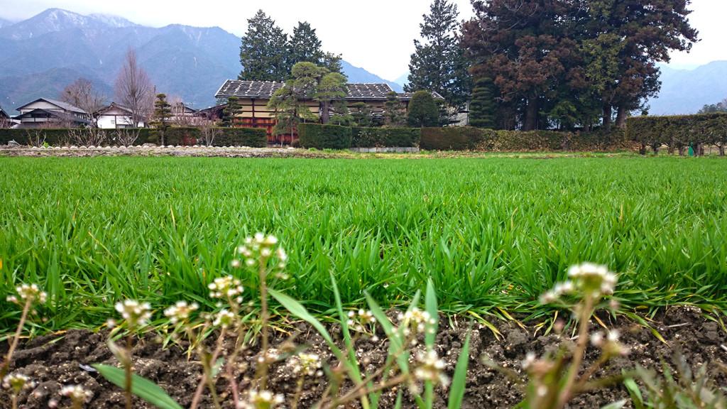 曽根原家住宅前の麦畑