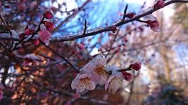 飴細工のように凍る梅の花1