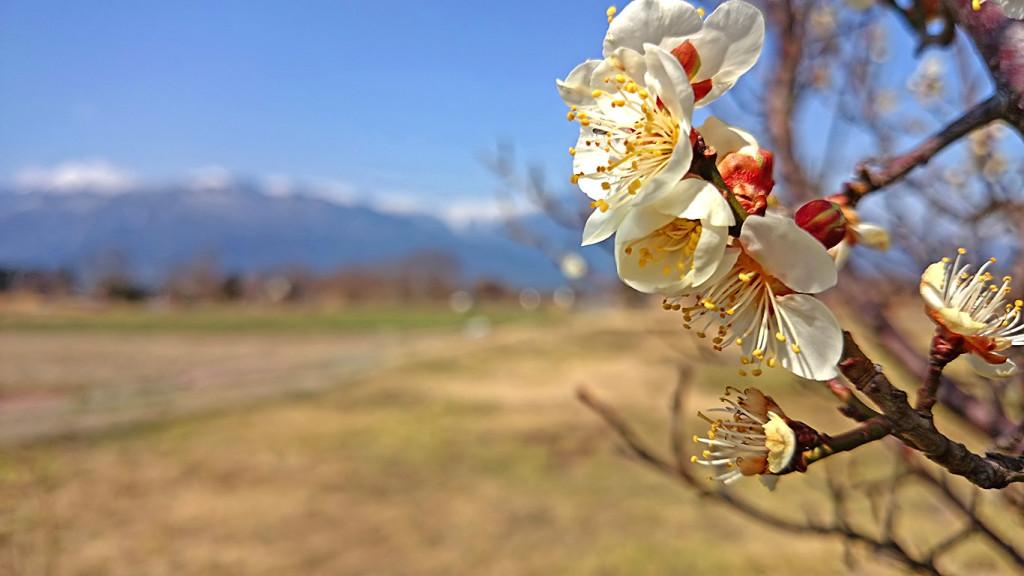 安曇野の白梅の花