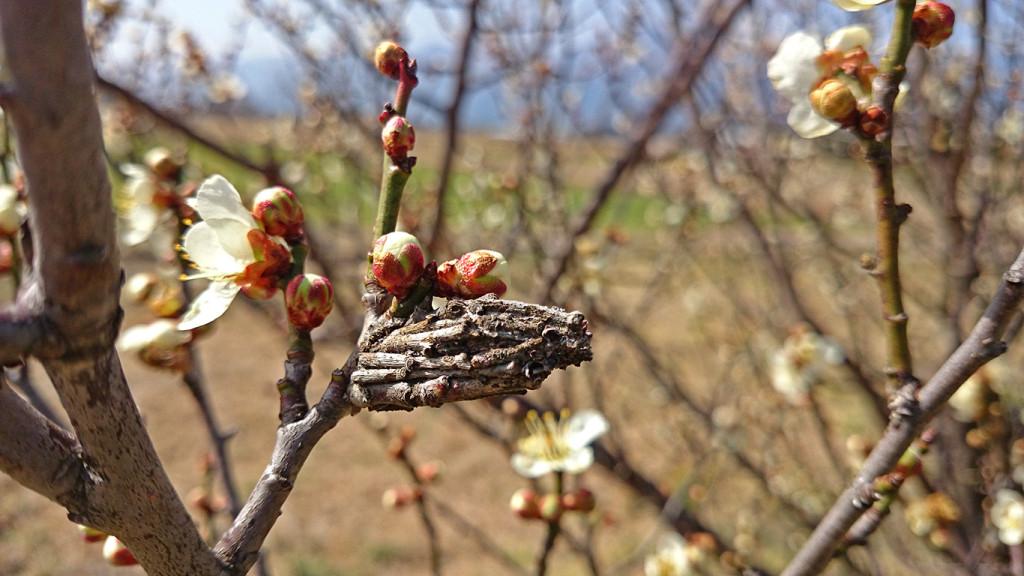 白梅とミノムシの蓑