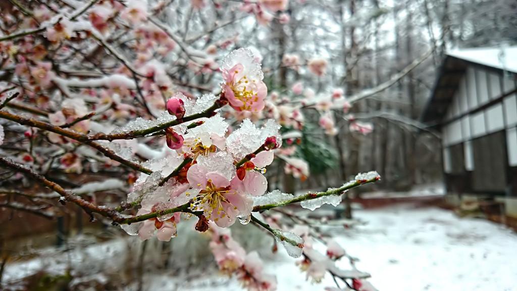 みぞれ雪をかぶった梅の花1