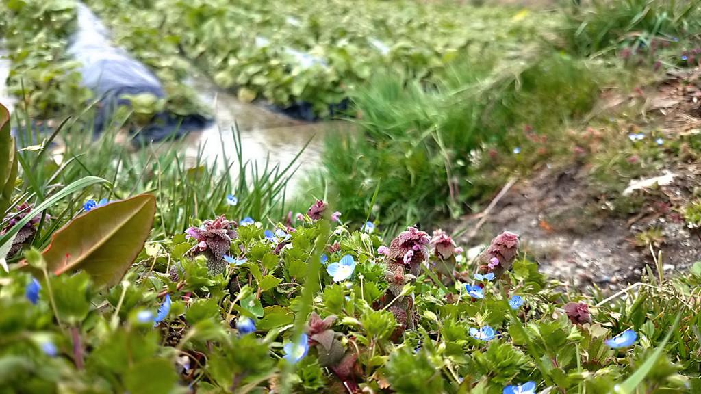 わさび田のふちに咲くヒメオドリコソウとオオイヌノフグリ