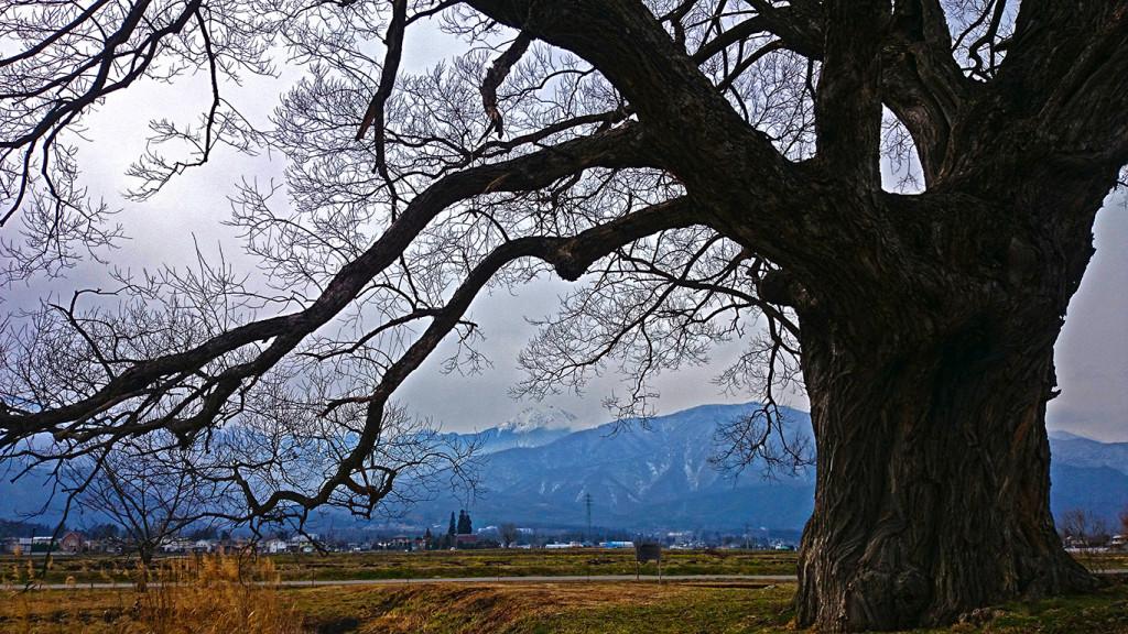 柳の大木から常念岳を