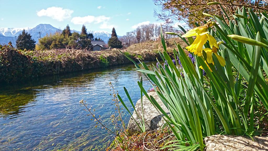 用水路脇に咲く水仙の花