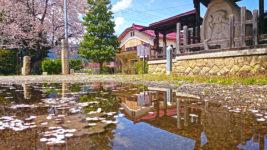新屋公民館前の水たまりに浮く桜の花びら