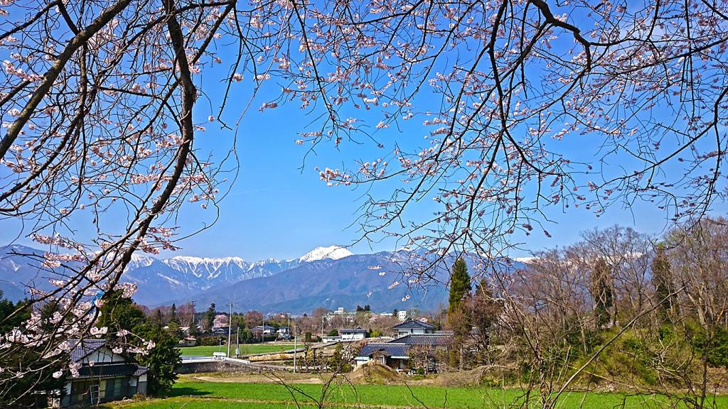 大王近辺に咲く桜の間から常念岳を