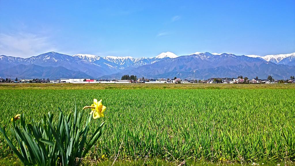 常念岳をバックに青々と茂ってきた麦畑とスイセンの花を