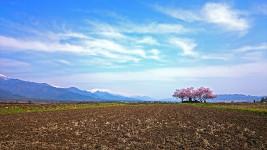 巾上の郷の桜