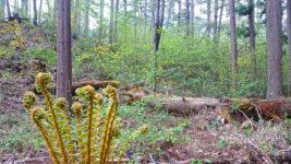 オシダとヤマブキと新緑の林の中