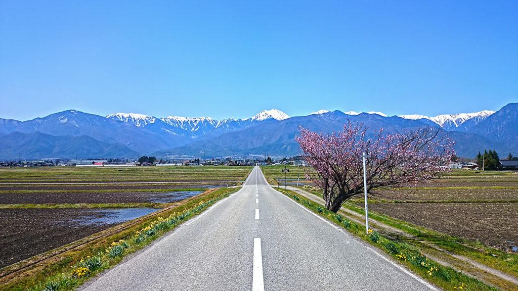 常念岳へ伸びる道の桜と常念岳