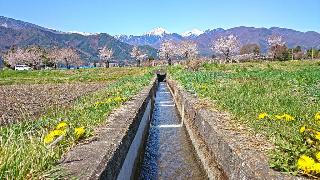 タンポポが咲く用水路と桜と常念岳