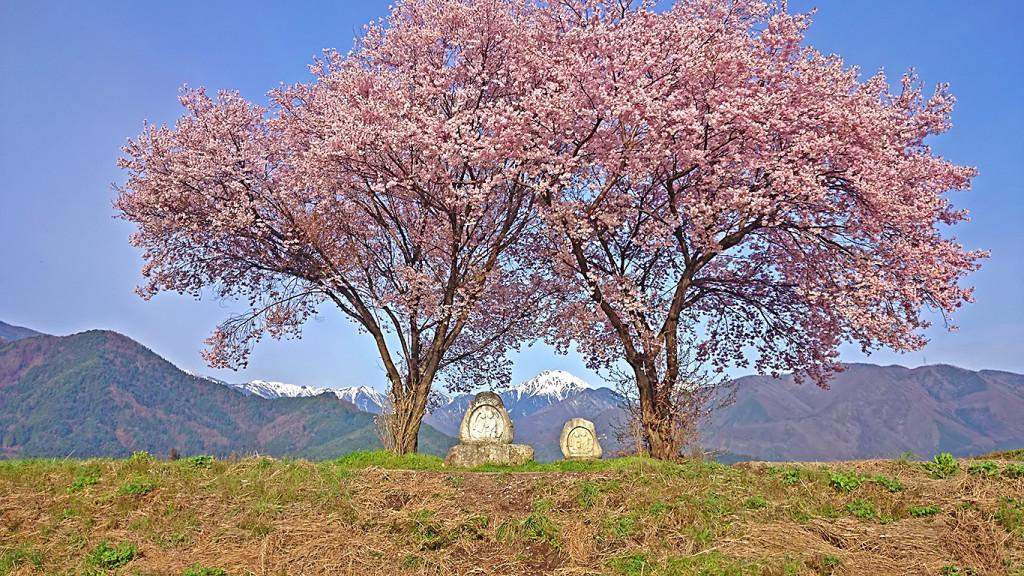 桜が咲いた常念道祖神