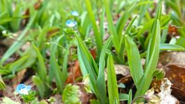 ノカンゾウの若芽