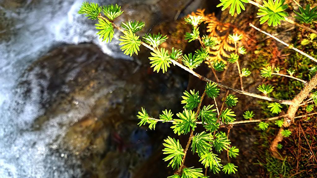 カラマツの幼木の新緑