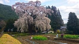 北小倉の枝垂桜