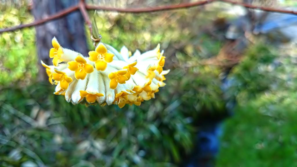 満願寺の花盛りのミツマタ