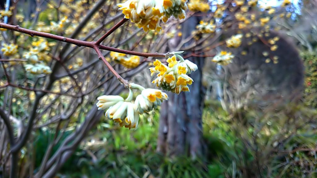 花盛りの満願寺のミツマタ