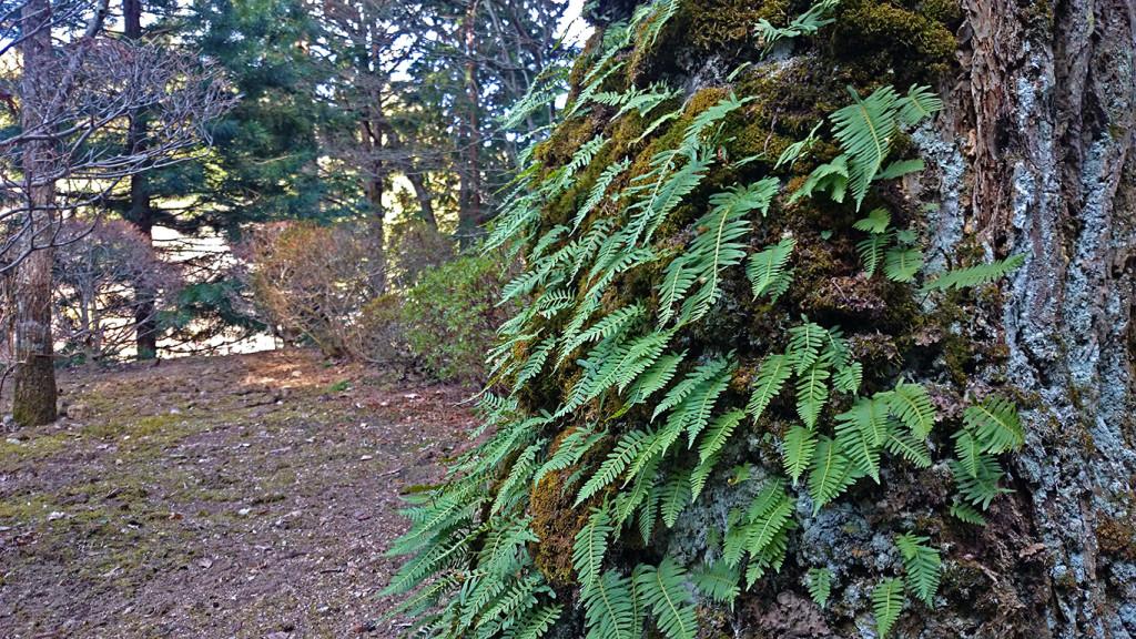 満願寺の木に生える苔とシダ