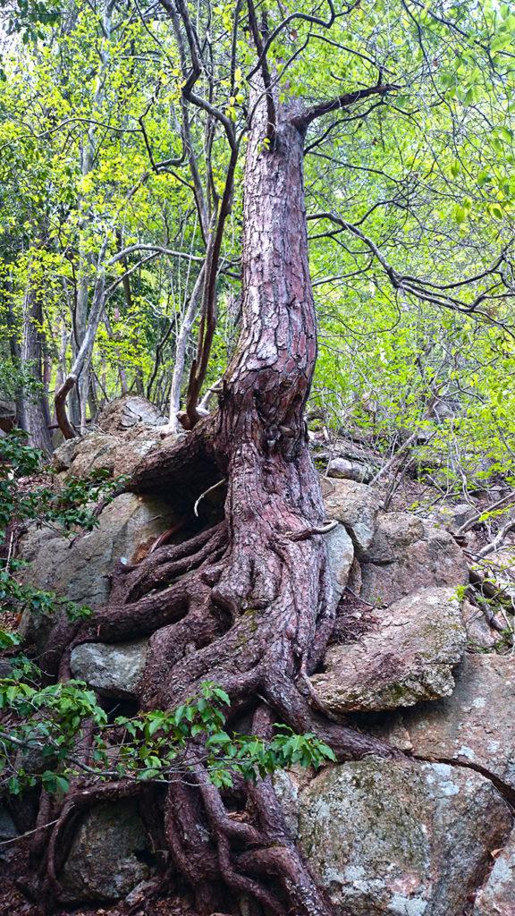 岩肌にへばりつく巨大な松の根2