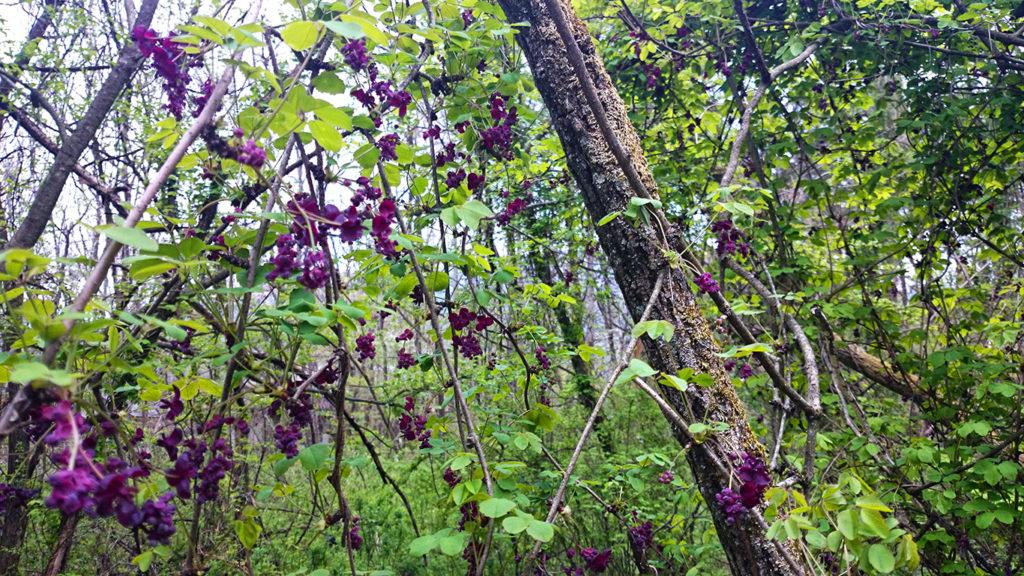 ゴヨウアケビとミツバアケビの交配種と思わる花