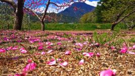 桃の花びらの絨毯