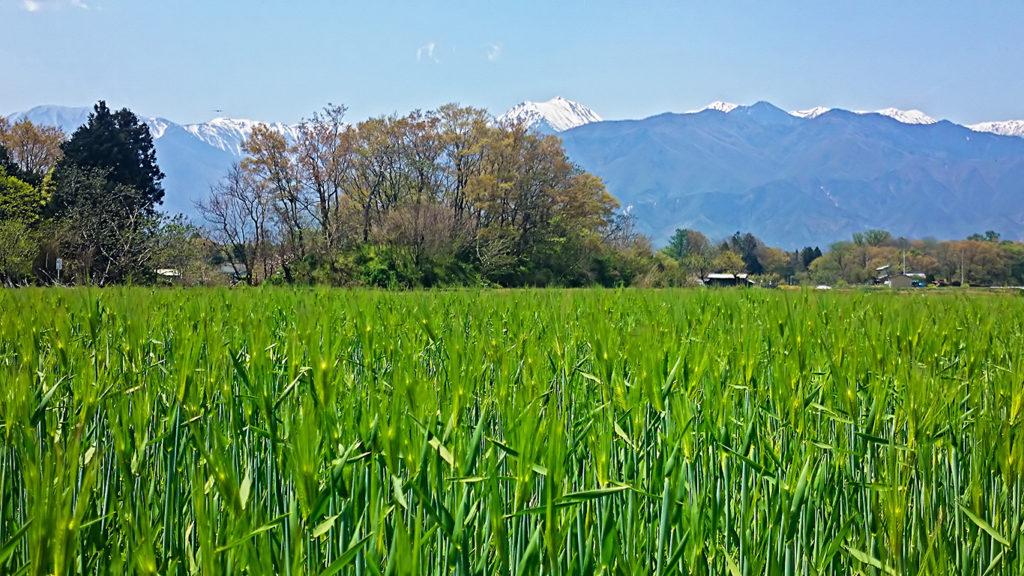 穂を出した麦畑と常念岳