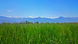 穂を出した六条大麦の畑と北アルプス