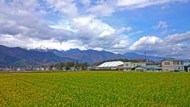 ほりがね物産センター横の菜の花畑
