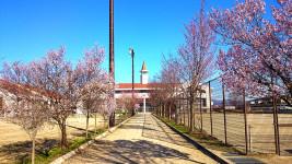 桜咲く穂高西中学