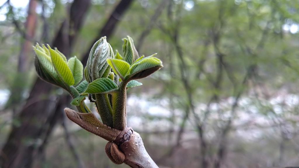 オニグルミの新芽