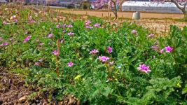 畑の脇に咲くオランダフウロとツクシ