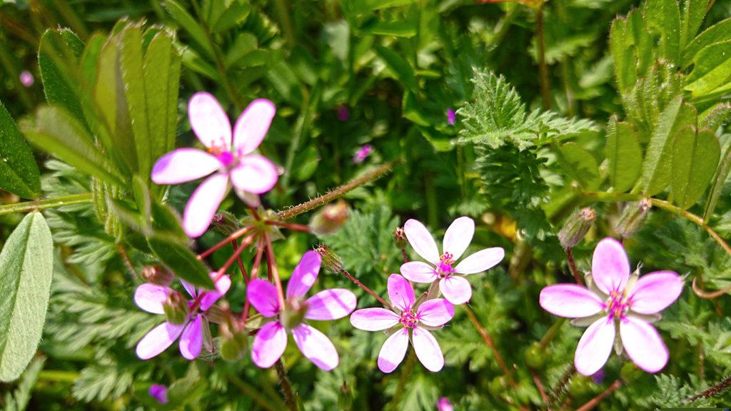 オランダフウロの花