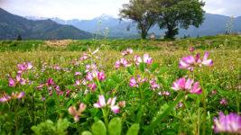 蓮華草の花と常念岳