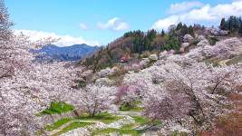 陸郷 桜の風景