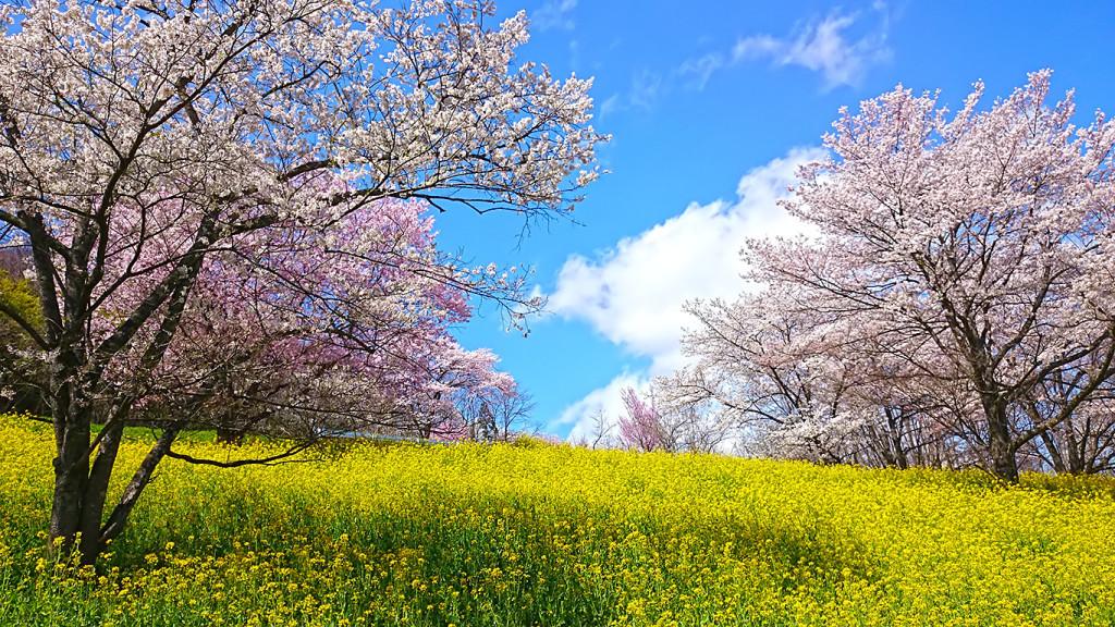 陸郷 桜と菜の花