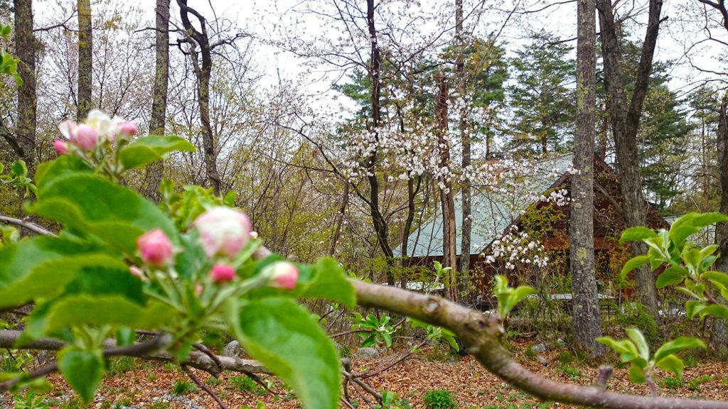 リンゴの花と山桜の花