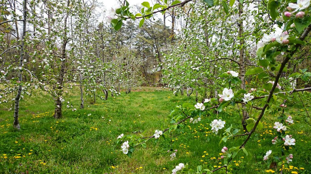 リンゴの花とタンポポ